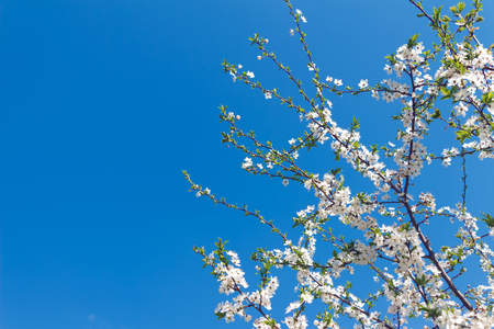 florescence: White cherry flowers on a background of blue sky (spring)