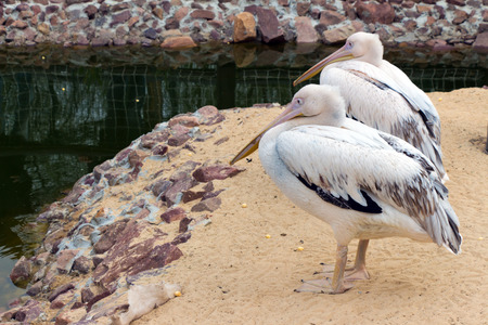 beaks: Two pink Pelican (white birds) with long beaks sit near the water (Latin: Pelecanus onocrotalus; class birds; squad pelecanoididae; family pelikanova) full Stock Photo