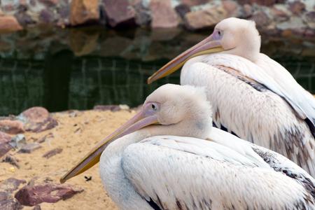 squad: Two pink Pelican (white birds) with long beaks sit near the water (Latin: Pelecanus onocrotalus; class birds; squad pelecanoididae; family pelikanova) Stock Photo