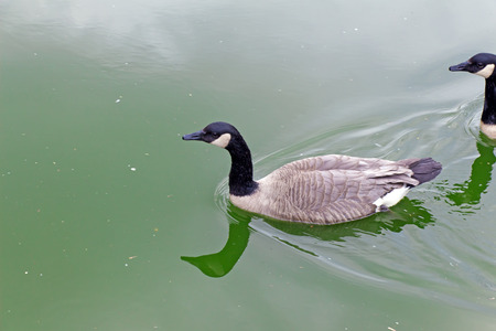 squad: Two the Canada goose (bird, duck) floating on the green water (Latin: Branta canadensis; class birds; squad anseriformes; family duck) Stock Photo