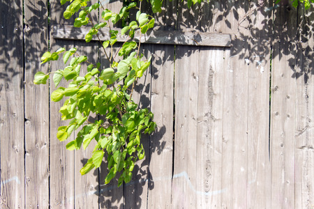 anachronistic: Old wooden fence grey color. Through a hole in the fence sprouted a branch of a tree with green young leaves. Through the large cracks visible greens.
