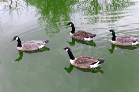squad: Four (4) the Canada goose (bird, duck) floating on the green water (Latin: Branta canadensis; class birds; squad anseriformes; family duck