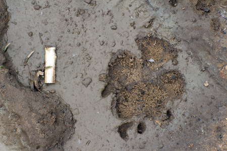sodden: Footprint of dog or wolf on wet dirt. Next to the imprint lies the old cigarette. The earth brown color. Stock Photo
