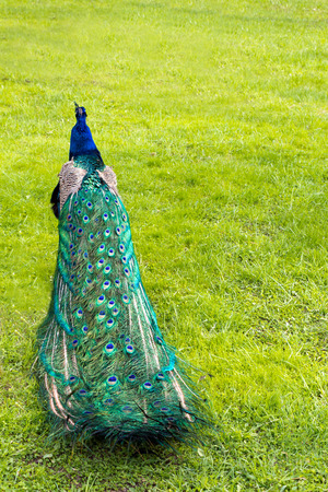 weed block: Colorful folded peacocks tail in the background of green grass (vertical)