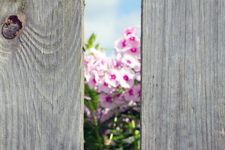 chap: Pink flowers seen through a hole in the fence. The background is blurred. Foreground in focus.