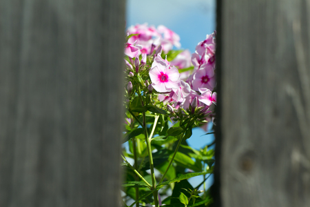focus on the foreground: Pink flowers seen through a hole in the fence. The background is focus. Foreground in blurred.
