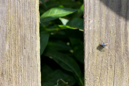 chink: The old wooden fence. On the Board sits a black fly. Through the hole see the green leaves. The background is blurred.