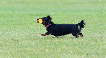 cynology: Running Dog
