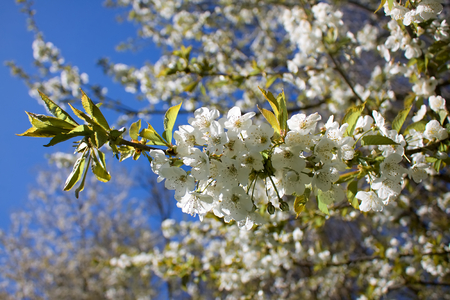 blooming: Blooming tree Stock Photo