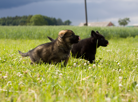 runing: Little puppies are runing