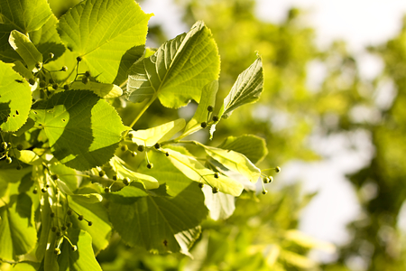 tilia cordata: Green leaves of linden Stock Photo