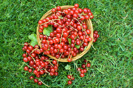 bowel: red currant in bowel on green grass