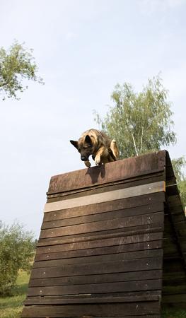 cynology: jumping german shepherd dog over the hurdle