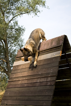 cynology: jumping german shepherd dog over the hurdle with dumbbell Stock Photo