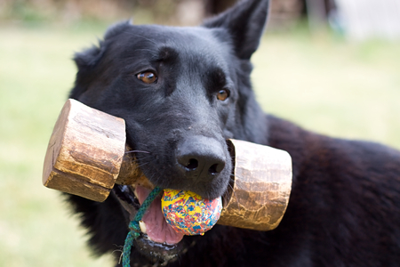 fetch: Black dog with fetch and ball outdoors