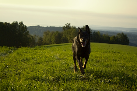 runing: Runing black old dog on the meadow Stock Photo