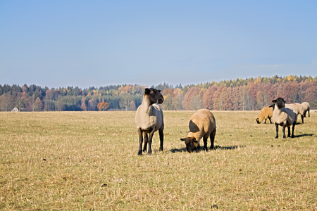 grazing land: sheeps on grazing land at fall colour nature