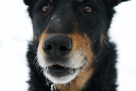 muzzle: old dog and black muzzle in winter