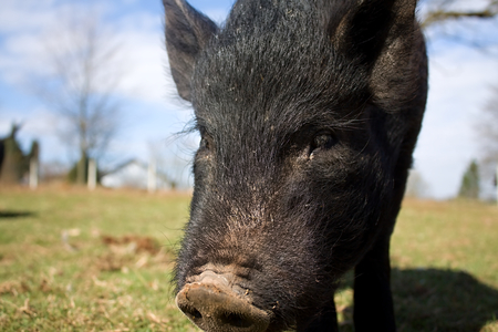 chinesse: black chinesse pig and snout in farm