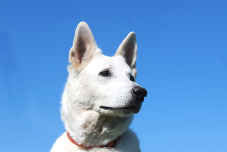 berger: detail of white dog head berger blanc suisse Stock Photo