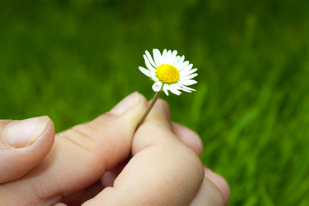 pluck: one small white daisy is pluck with children hand