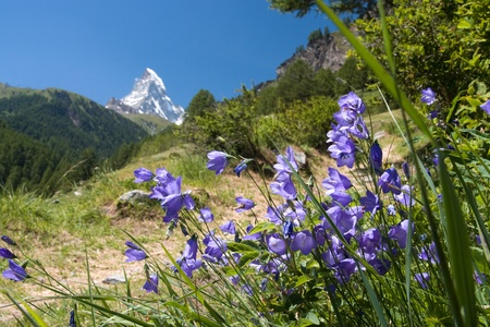 Matterhorn through harebell; focused on flower in front; horizontal composition photo