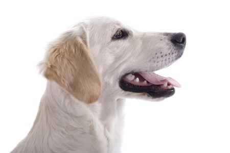 Golden Retriever puppy dog profile - isolated on white background with copy space Stock Photo - 11943782