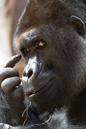 thinking of you: Gorilla is thinking (or signalize you to think)