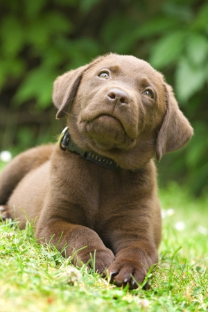 pry: Puppy dog (labrador retriever) lay on green grass
