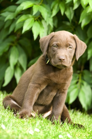 prying: Puppy dog (labrador retriever) sit on green grass Stock Photo