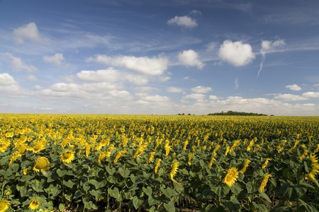 land plant: Sunflower field