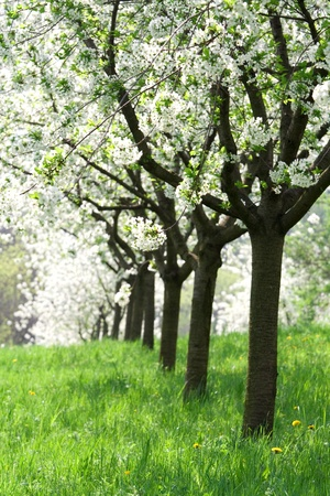 Spring beautiful fruit trees in orchard photo