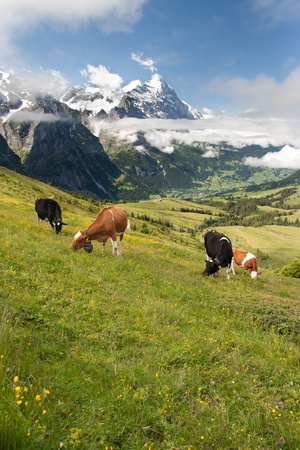 eiger: Grazing cows near Eiger, Schreckhorn and neighborhood in Berner Alpen, Switzerland Stock Photo