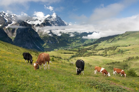 berner: Grazing cows near Eiger, Schreckhorn and neighborhood in Berner Alpen, Switzerland  Stock Photo