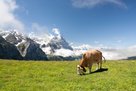 berner: Grazing cow near Eiger and neighborhood in Berner Alpen, Switzerland Stock Photo