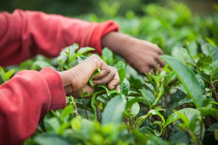 ceylon: Authentic detail on hands of tea picker on Sri Lanka (Ceylon).