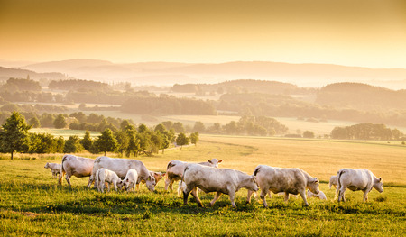 haze: Czech (Bohemian) early morning landscape - cows, dawn haze and forest. Stock Photo