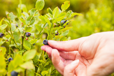 bilberry: Picking of blueberry. Female hand hold on blueberry bush (bilberry). Stock Photo