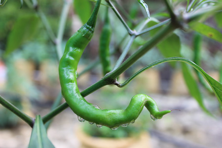 chilly: Water drops on a green chilly