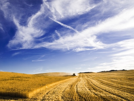 harvester: harvesting picking ripe wheat in summer
