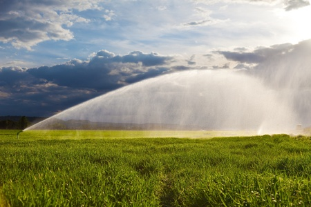 irrigation field: irrigation of a green wheat field against a dramatic sky at sunset
