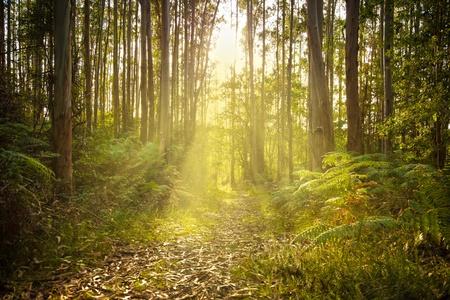 cantabria: Footpath trough an eucalyptus forest against sunset sumbeams