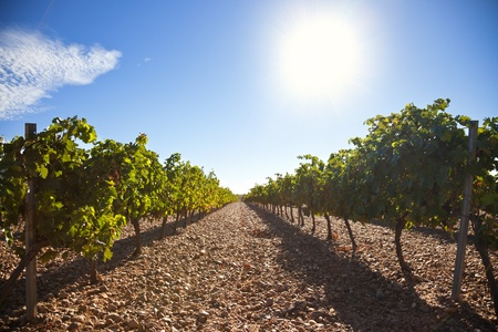 Ribera del Duero vineyard against sunlight, Spain