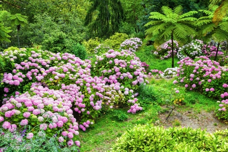quinta: Garden full of pink hydrangeas in Quinta da Regaleira  Sintra, Portugal