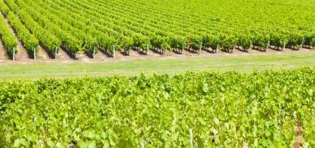 Big vineyard in a sunny summer day photo
