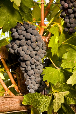 bunch of ripe Tempranillo grapes hanging on the vine