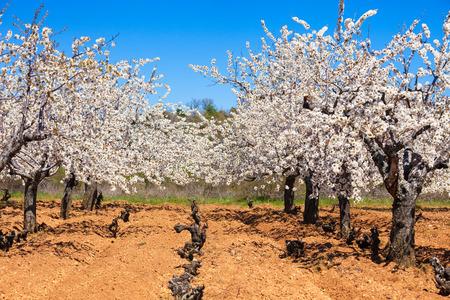 land use: vigneti e fiori di ciliegio in primavera coltivazione mista per un uso ottimale terreni in Castilla y Leon, Spagna Archivio Fotografico