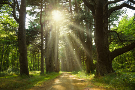 trough: Sunlight trough a forest of cedar trees