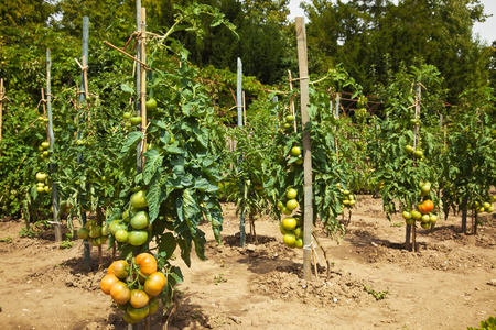 Tomatoes growing in a traditional orchard Stock Photo