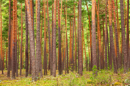 pinewood: pine forest background. Pinewood in the province of Soria, Spain